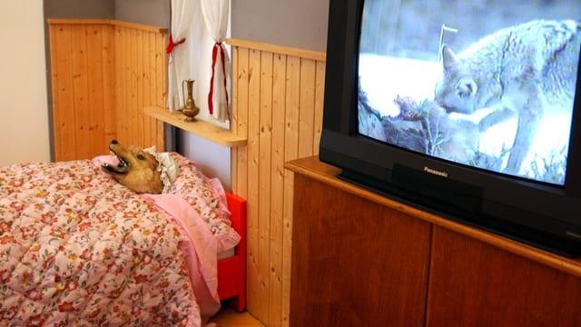 """Die Figur des Wolfes aus dem Märchen """"Rotkäppchen"""" liegt in der Ausstellung """"Märchentiere"""" im Naturmuseum St. Gallen als Grossmutter verkleidet im Bett."""