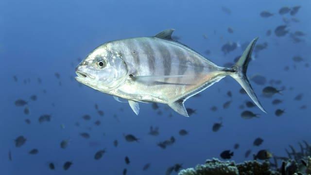 Eine Makrele im Meer, im Hintergrund viele kleine Fische.