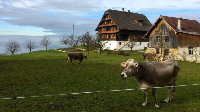 Kühe auf grüner Wiese. Sommeridylle am 24. Dezember.