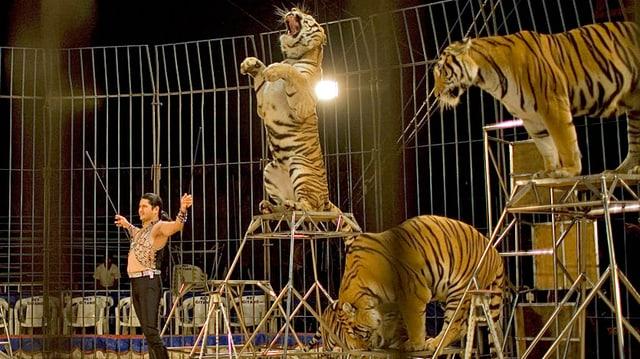 Mehrere Tiger in der Manege