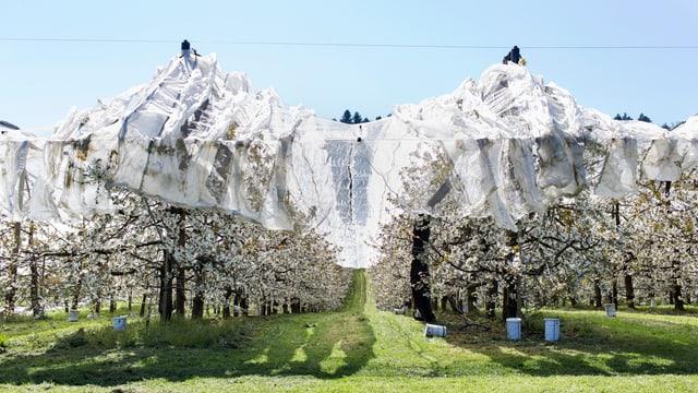 blühende Kirschbäume sind mit Hagelschutznetzen eingepackt