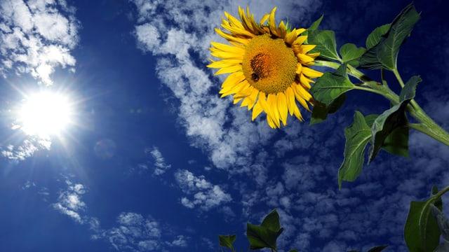 Sonnenblume mit Sonne im Hintergrund