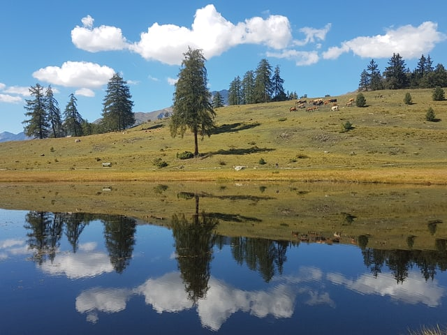 Tarasp/GR: Im See spiegeln sich tannen und Weden mit Kühen.