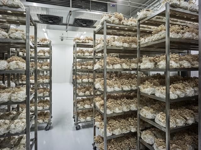 Pilze auf Metallregalen.