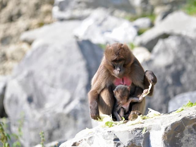 Eine Affenmutter sitzt mit ihrem Jungen auf einem Felsen.