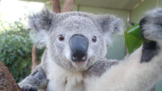 Koala im Zoo Sydney