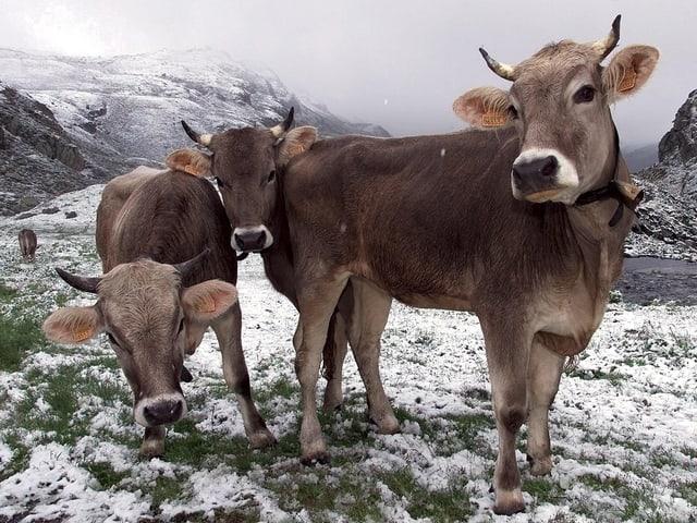 Drei Kühe stehen auf einer verschneiten Alpweide.