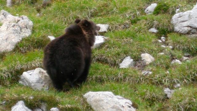 Maletg simbolic: En la Val Mesolcina è vegnì observà in urs.