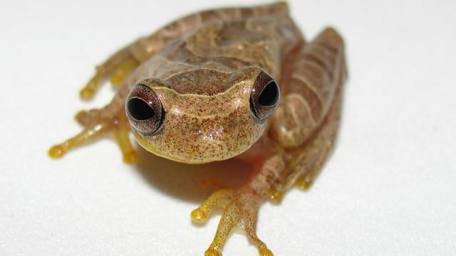 Dendropsophus stingi