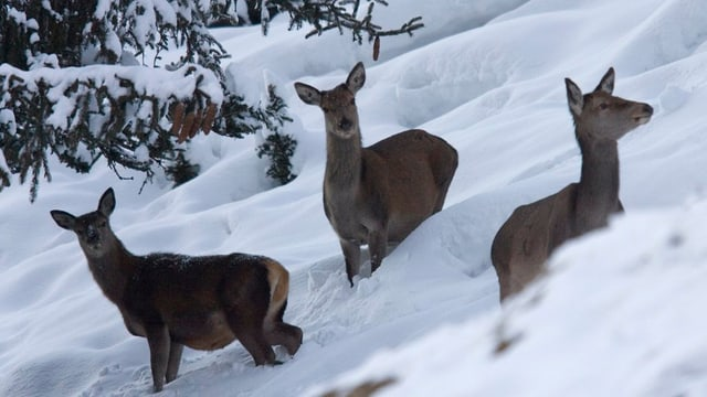 Hirschkühe im Winter