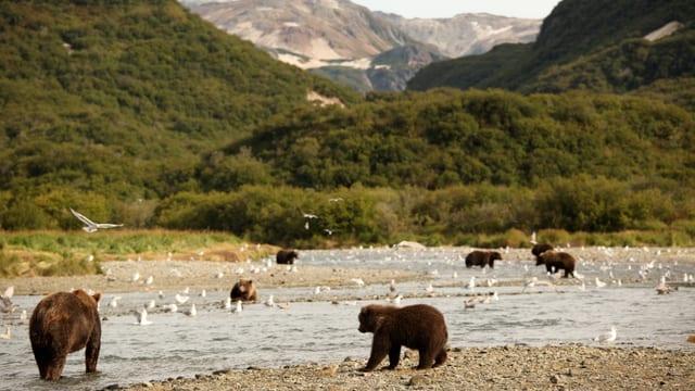 Büren am Columbia-River auf Lachs-Jagd.