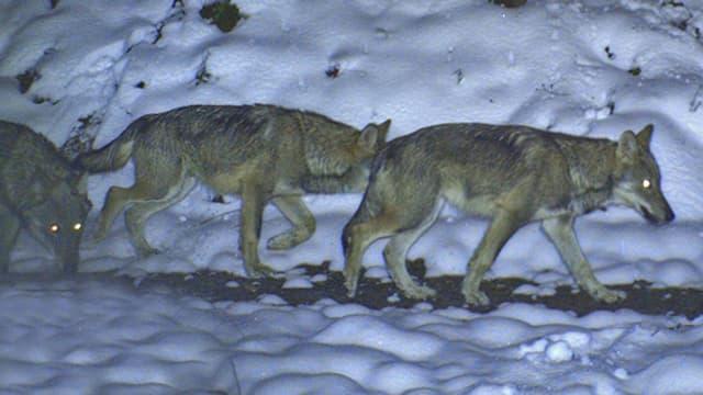 Video «NETZ NATUR «Wolf und Bär: Wer braucht Schutz vor wem?» (Schweizerdeutsch)» abspielen