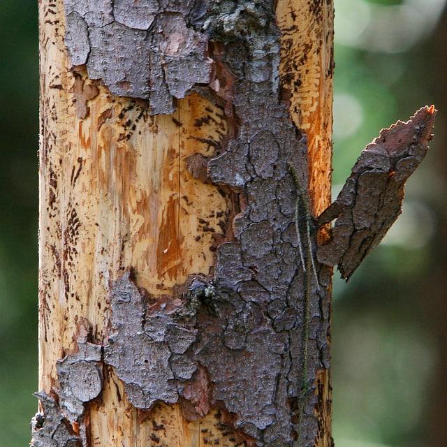 Ein vom Borkenkäfer befallener Baum weist deutliche Spuren auf: Das Holz bringt im Verkauf weniger Geld ein.