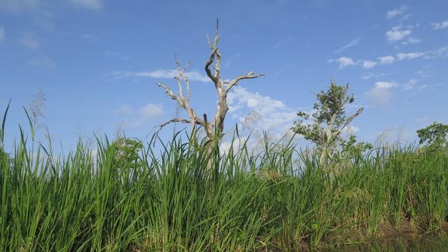 Toter Baum am Mississippiufer.