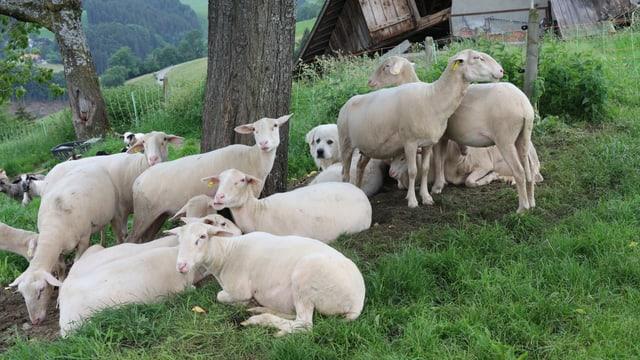 Ein Herdenschutzhund liegt inmitten einer Schafherde.