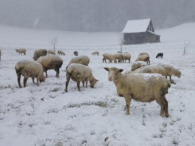 Schafe stehen in einer verschneiten Wiese und suchen Futter. Es ist grau und schneit weiter.
