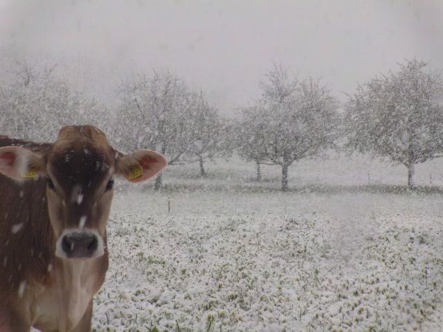 Eine Kuh steht im Schneefall. Die Wiese im Hintergrund ist bereits angezuckert.