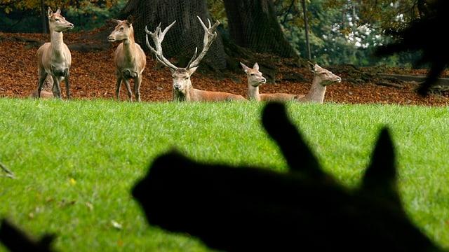 Rothirsche auf einem Feld am Waldrand.