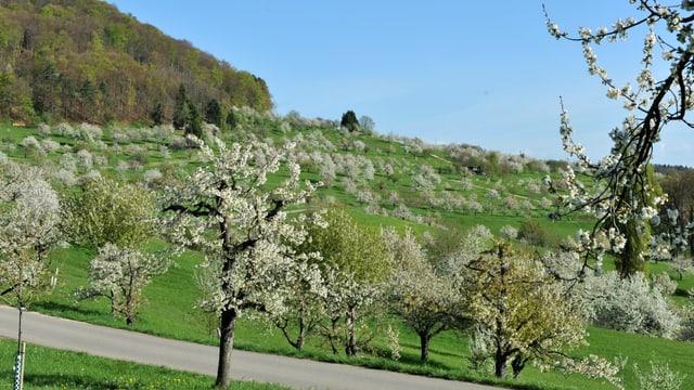 Kirschbäume im Baselbiet blühen beidseits einer Strasse. Im Hintergrund befindet sich ein bewaldeter Berg.