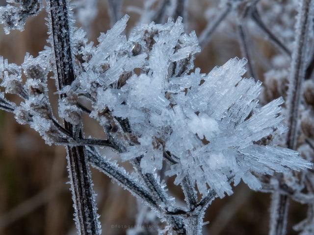 Raureifkristalle an einer Staude formen sich zu kleinen Eisröchen.