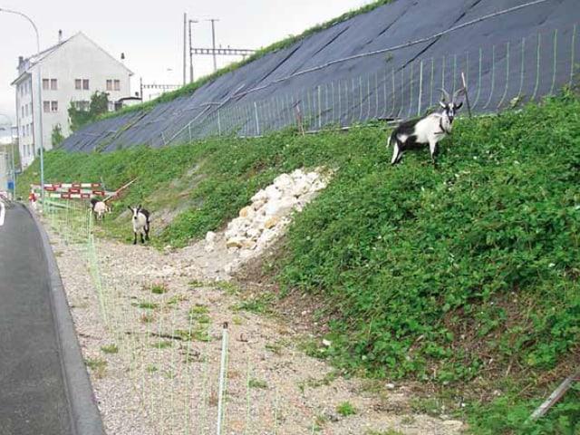 Drei Ziegen auf der SBB Böschung in Olten.
