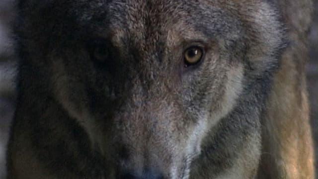 Video «NETZ NATUR «Wer ist der Wolf?» (Schweizerdeutsch)» abspielen