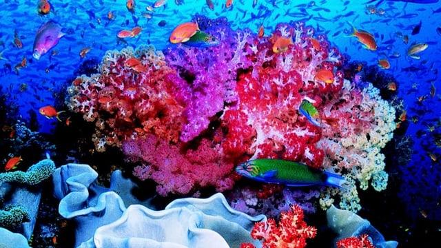 Riff da corals cun peschs.