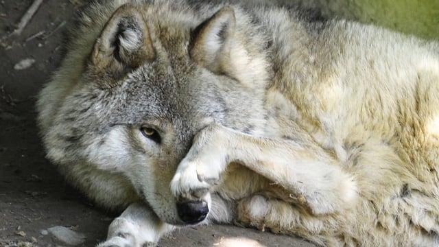 Wolf im Zürcher Zoo