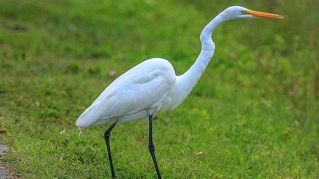 Ein grosser, langbeiniger, fast weisser Vogel mit langem Schnabel.
