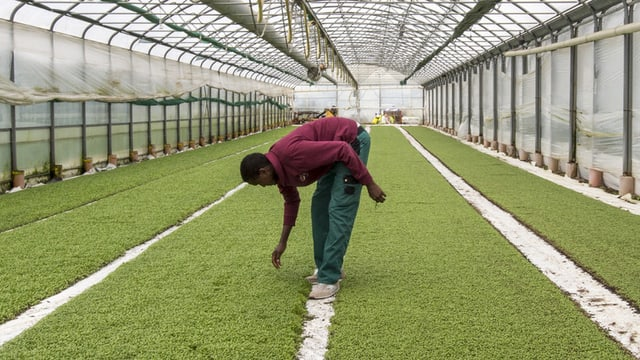 Flüchtling bei der Landwirtschaftsarbeit.