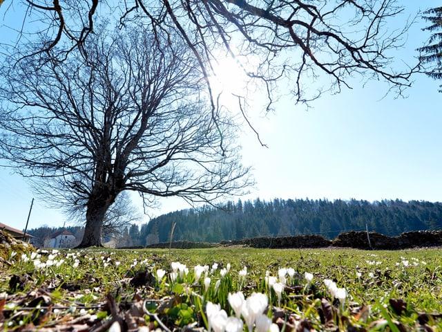 Weiss blühende Krokkusse unter einem Baum, es herrscht strahlend blaues Frühlingswetter.