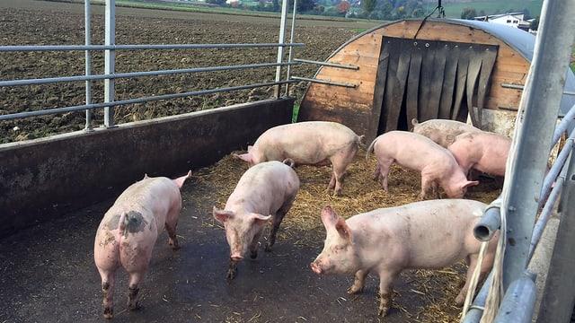 Schweine stehen im Aussengehege herum.