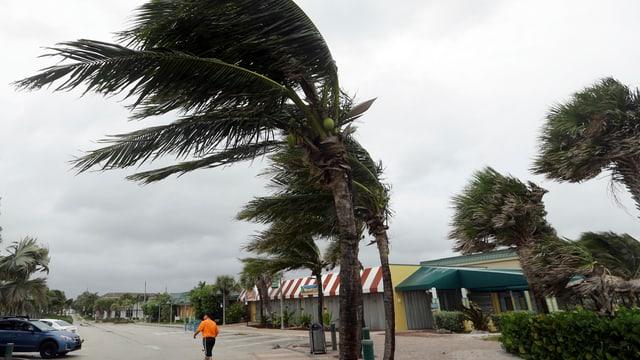 Palmas a Florida en il vent dal hurrican Matthew.