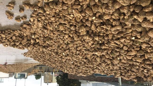 Zuckerrüben mit Bio-Qualität werden in diesen Tagen in Frauenfeld vor der Zuckerfabrik abgeliefert.
