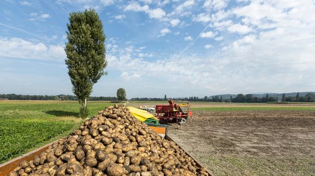 Förderband für Kartoffeln auf einem Acker.