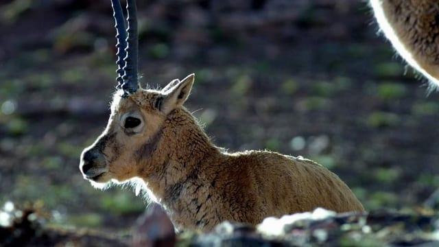 Aufnahme einer liegenden Tibet-Antilope.