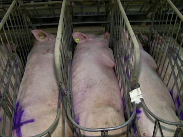 Schweine liegen nebeneinander in engen Gittergehegen.