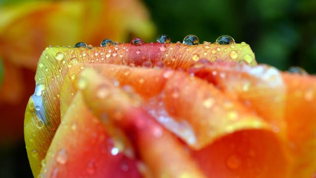 Eine Tulpe mit Regentropfen.
