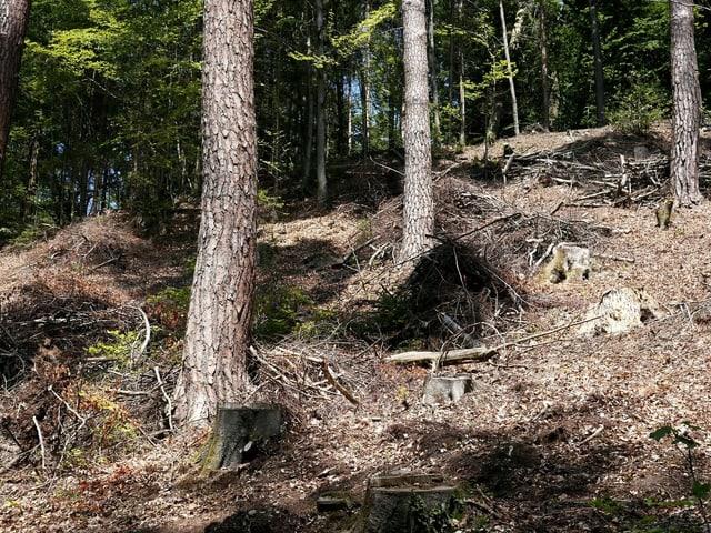 Bäume und kahle Stellen mit Baumstümpfen in einem Wald.