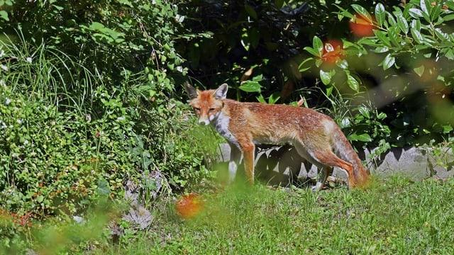 Ein Fuchs im Garten