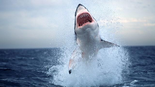 Ein weisser Hai taucht in einer Bucht am Kap der Guten Hoffnung vor der Südwestküste von Südafrika auf.