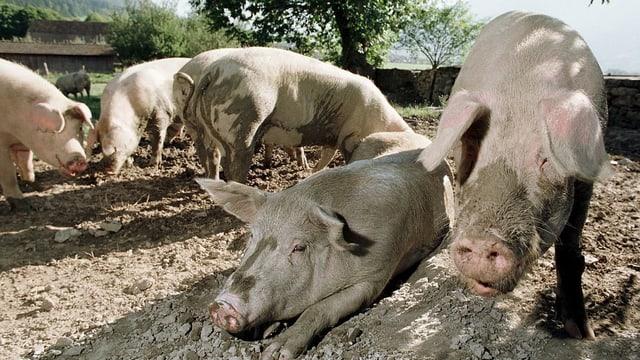 Fünf Hausschweine in einem Freilaufgehege