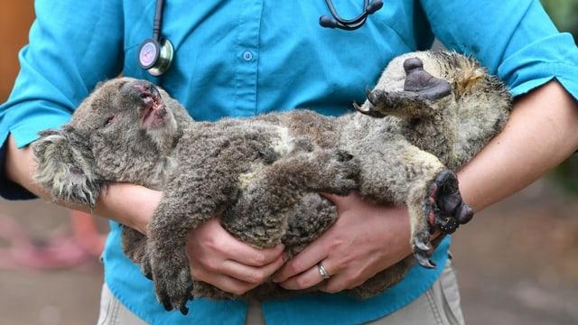 Ein Koala auf dem Arm eines Arztes
