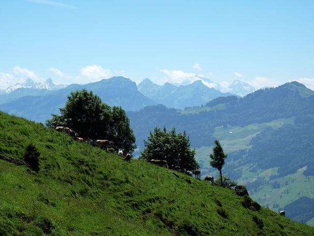 Kühe grasen an einem Steilhang, im Hintergrund die Berge.