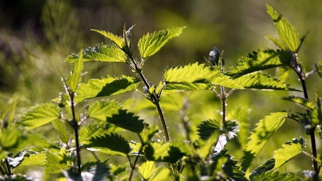 Brennnesselpflanzen