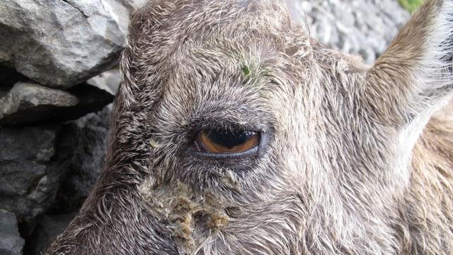 Ein erkrankter Steinbock im Anfangsstadium mit Sekretstrassen unter dem Auge.