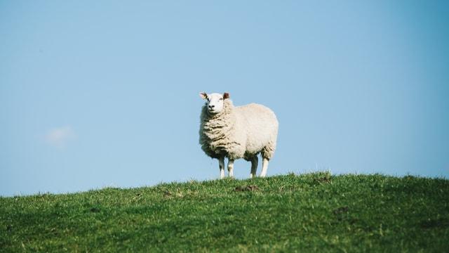 Ein Schaf auf einer Wiese.
