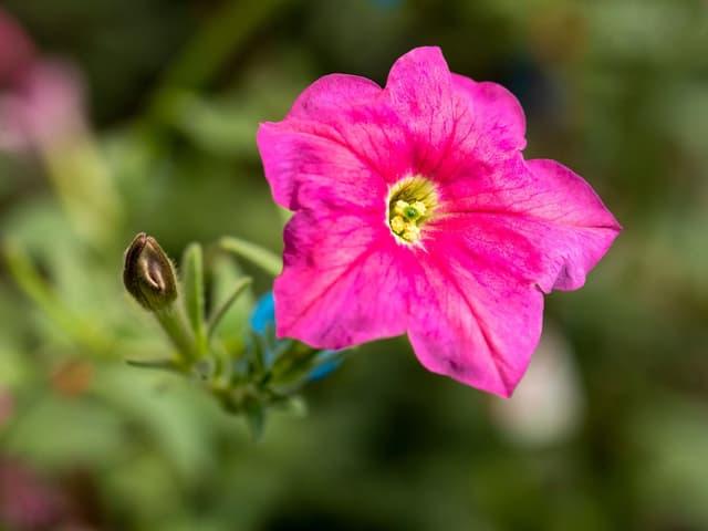 Eine pinke Petunien-Blüte