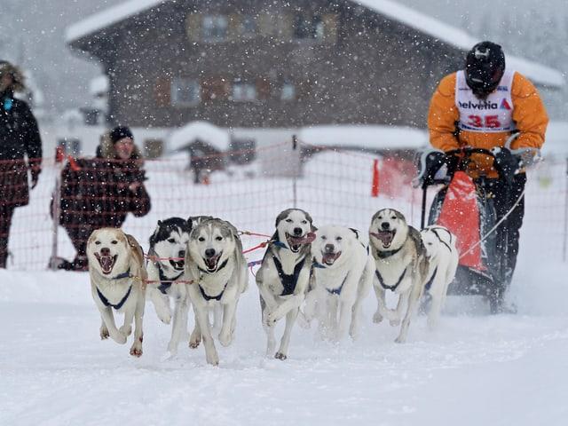 Ein Gespann von Schlittenhunden zieht ein warm eingepackten und mit Helmbestückten Fahrer durch das Schneegestöber.