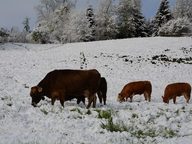 Kühe grasen im Schnee.